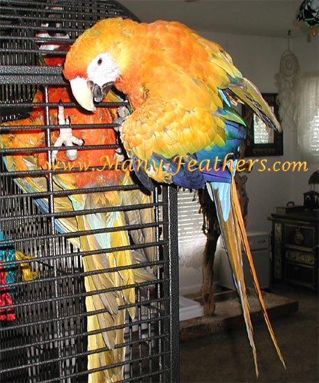 Capri Macaw, Blondie & Camelot Macaw, Squeaky