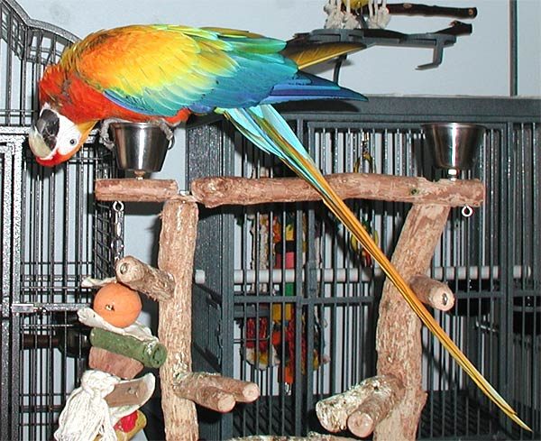 "2 yr old hybrid Capri Macaw, ""Liberty"" on 6/19/05"