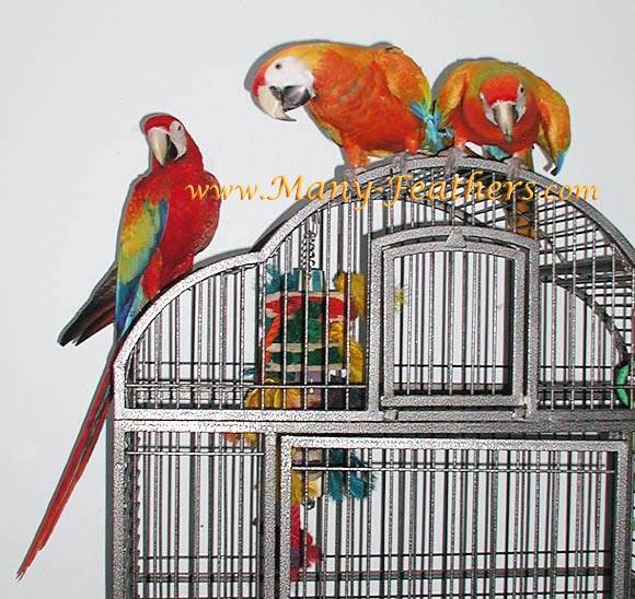 Capri Macaw Siblings