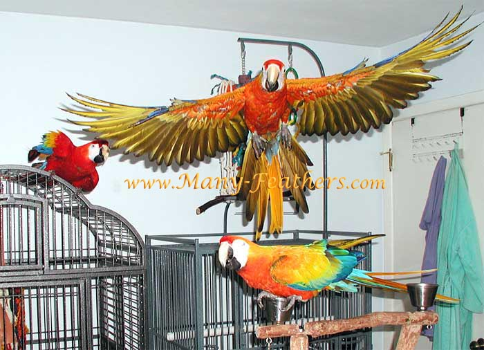 Capri Macaw Flying
