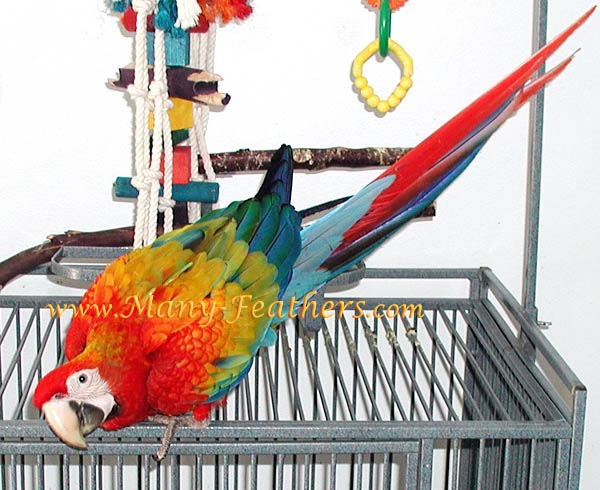 Red Dominant Capri Macaw, Flame