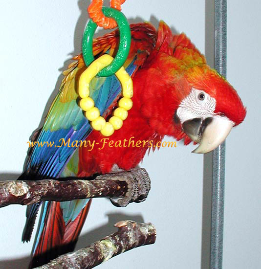 4 month old red Capri Macaw, Flame