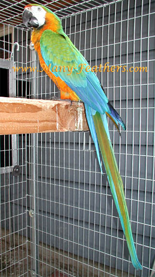 Catalina Macaw - Awesome
