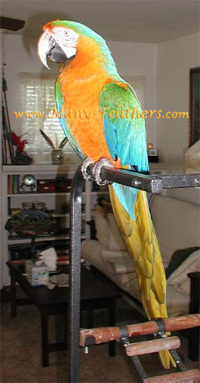 Catalina Macaw Hen - Marilyn