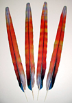 Red Camelot Macaw Rainbow  Center Tail Feathers