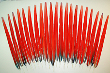 Red Scarlet Macaw Center Tail Feathers