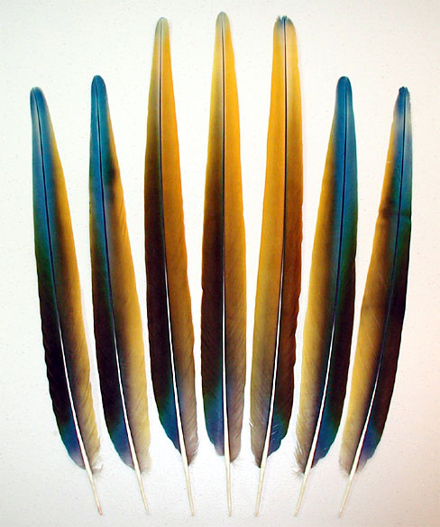 Camelot Macaw Tail Feathers - Topaz