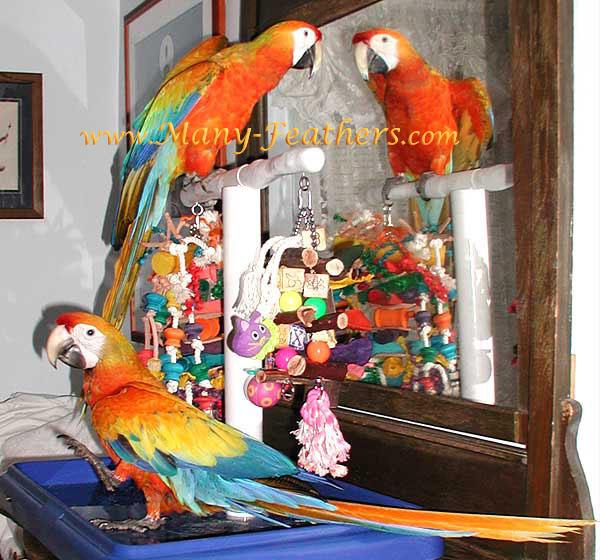 12 05 04 capri macaws liberty admiring himself in the mirror 4